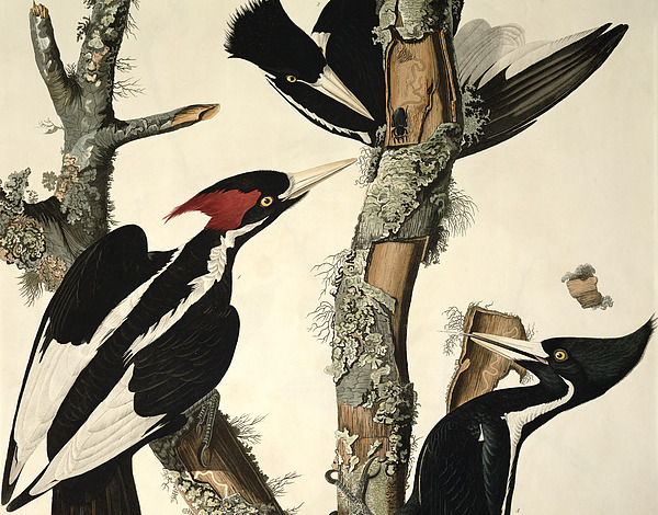 Woodpecker Drawing - Woodpecker by John James Audubon