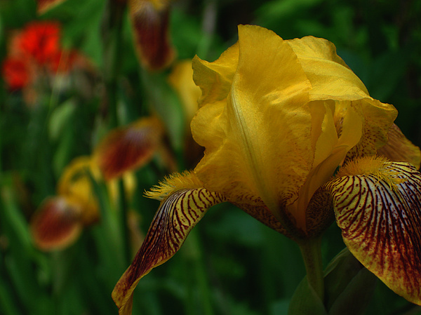Floral Photograph - Yellow Beared Iris by Martin Morehead