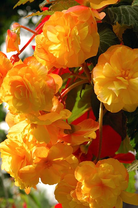 Begonia Flowers Photograph - Yellow Begonia Flowers.  Victoria by Darlyne A. Murawski