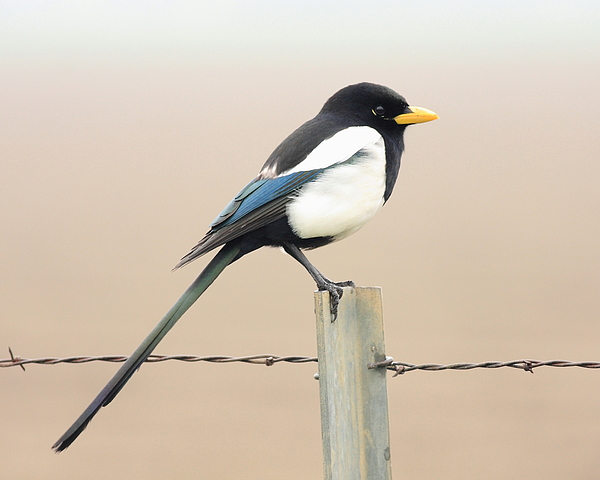 Bird Photograph - Yellow-billed Magpie by Wingsdomain Art and Photography