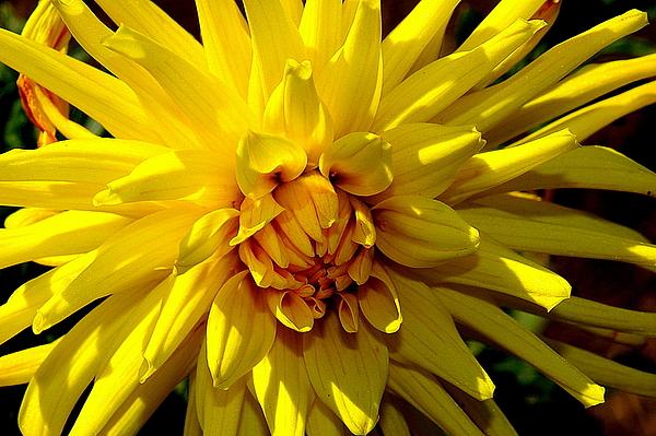 Image Photograph - Yellow Daliha by Patrick  Short