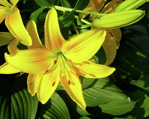 Day Lily Photograph - Yellow Day Lilies by Michael Peychich