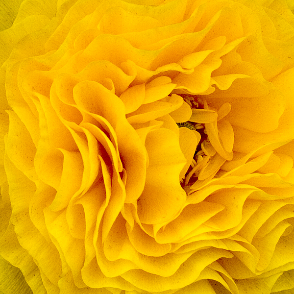 Flower Photograph - Yellow Delight by Q J