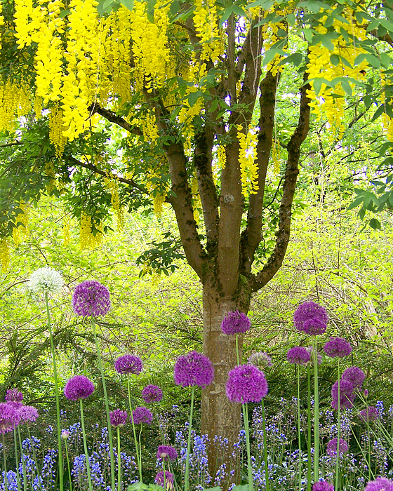 Yellow Photograph - Yellow Hanging Hydrangea Tree by Elizabeth Thomas