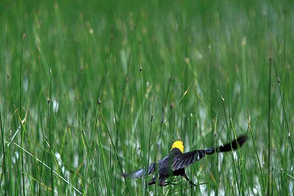 Landscape Photograph - Yellow Head Blackbird by Colby Elliot