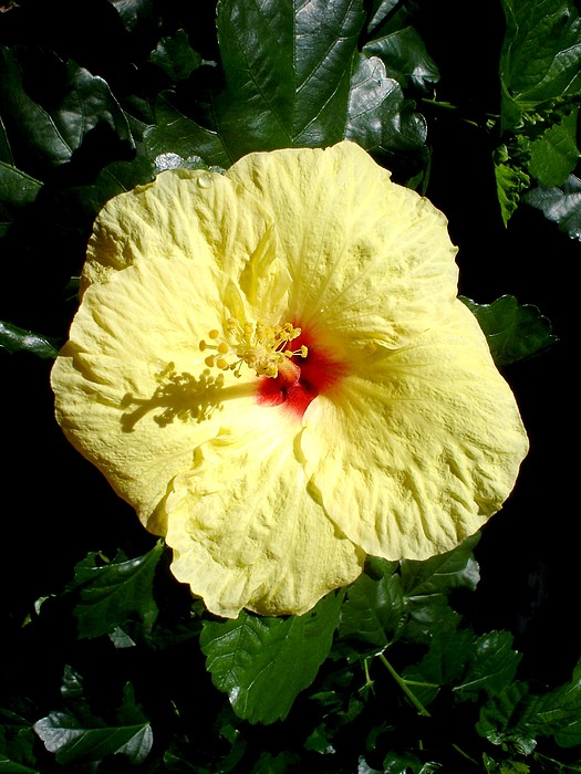 Flower Photograph - Yellow Hibiscus The Hawaiian State Flower by Chandelle Hazen
