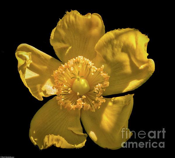 Mitch Shindelbower - Yellow On Black