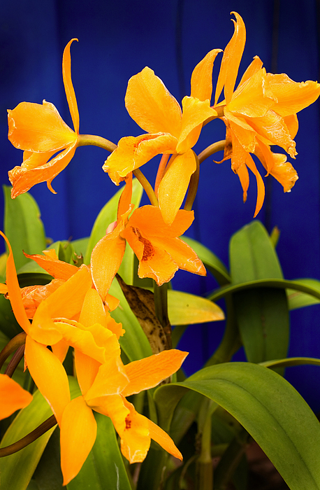 Flowers Photograph - yellow Orange Orchids by Stephen Mack