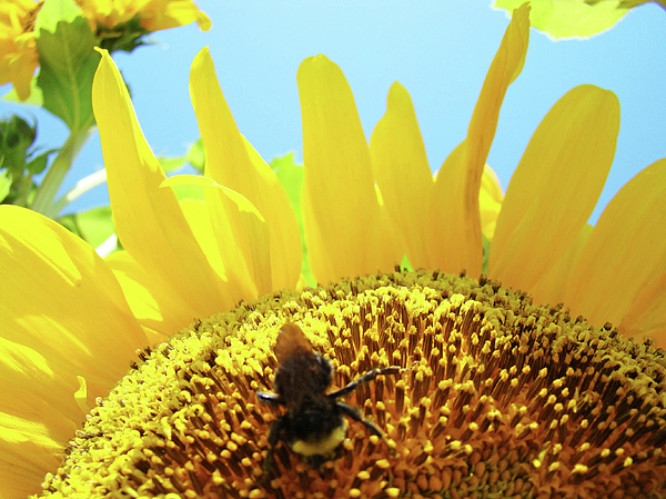 Sunflower Photograph - Yellow Sunflower Art Prints Bumble Bee Baslee Troutman by Baslee Troutman