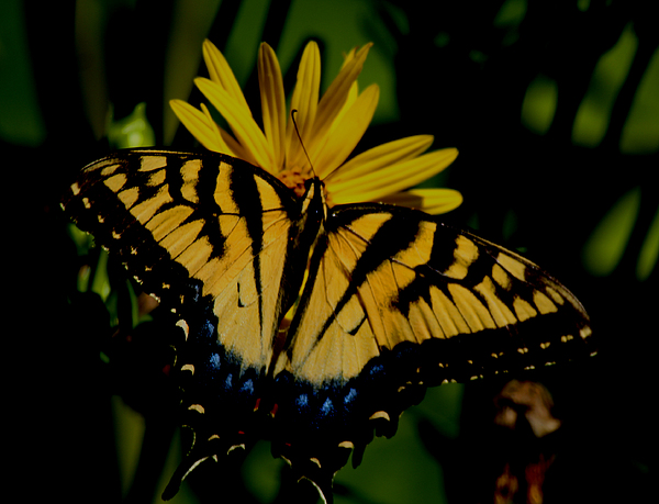 Swallowtail Photograph - Yellow Tiger Swallowtail Butterflly by Martin Morehead