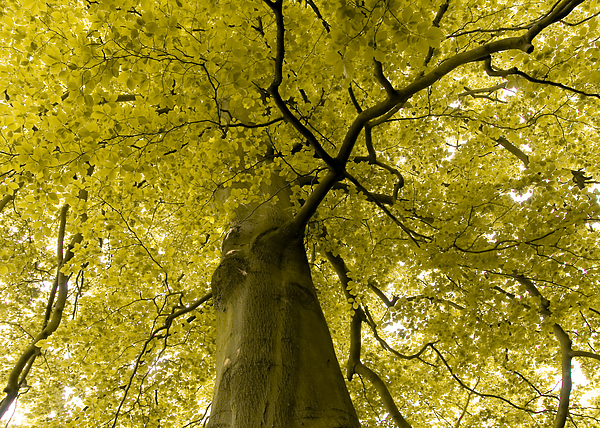 Countryside Photograph - Yellow Tree by Svetlana Sewell