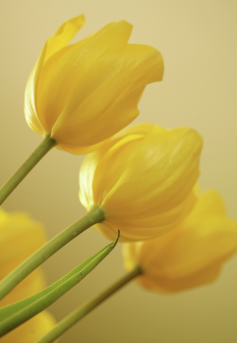 Tulips Photograph - Yellow Tulip Trio by Bonnie Bruno