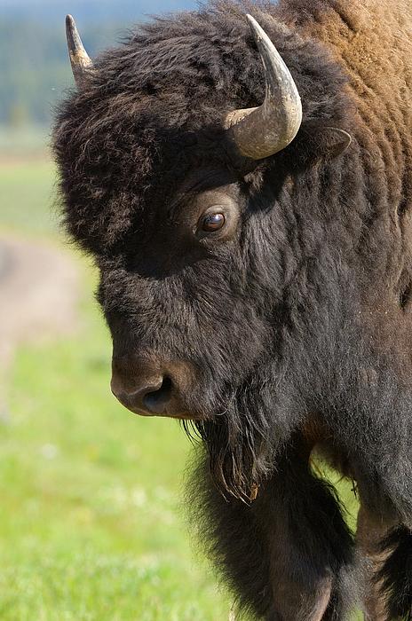 Bison Photograph - Yellowstone Bison Portrait by Sandra Bronstein