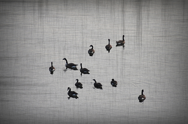 Duck Photograph - You Better Get Your Ducks In A Row by Bill Cannon