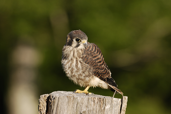 Birds Photograph - Young American Kestrel by Randy Bodkins