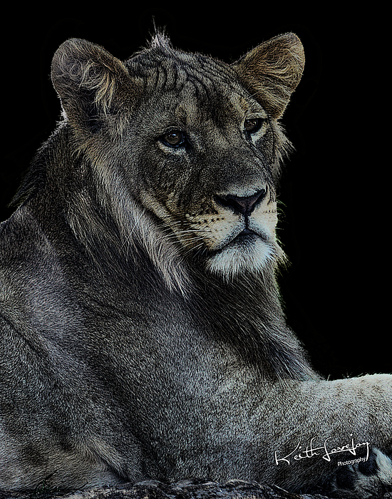 Lion Photograph - Young Lion by Keith Lovejoy