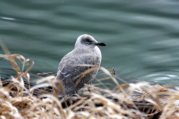 Seagull Photograph - Young Seagull by Nick Gustafson