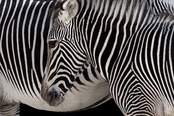 Abstract Photograph - Zebra Head by Carlos Caetano