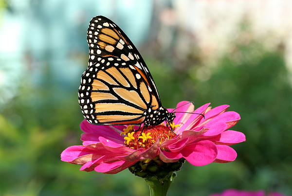 Monarch Butterfly Photograph - Zinnia With The Monarch by Steve Augustin
