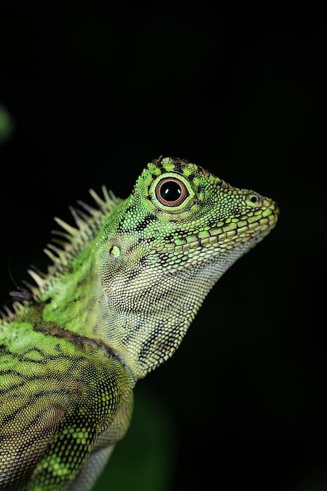 Nobody Photograph - Bornean Angle-headed Lizard 1 by Scubazoo/science Photo Library