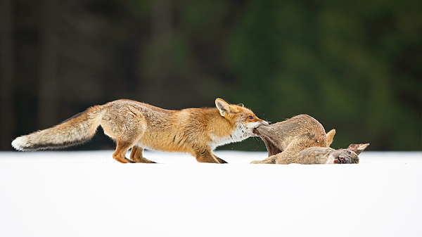 Red Fox Photograph by Milan Zygmunt