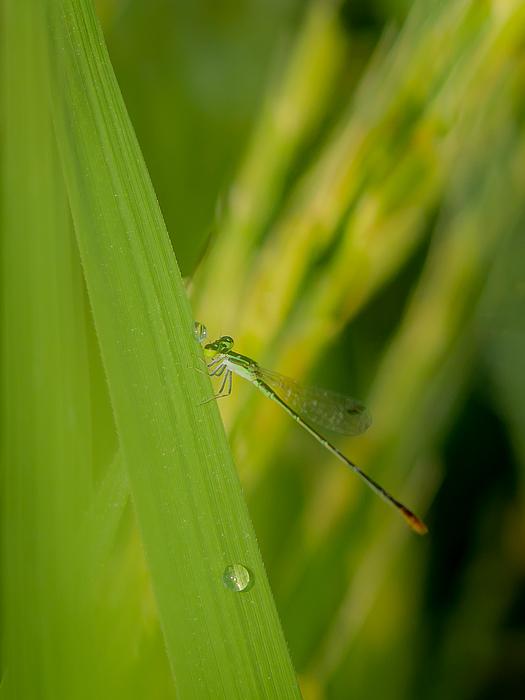 A Moment In A Rice Field Photograph by Bhaskar Gupta