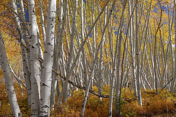 Telluride Photograph - Colorful Stick Forest by James BO Insogna