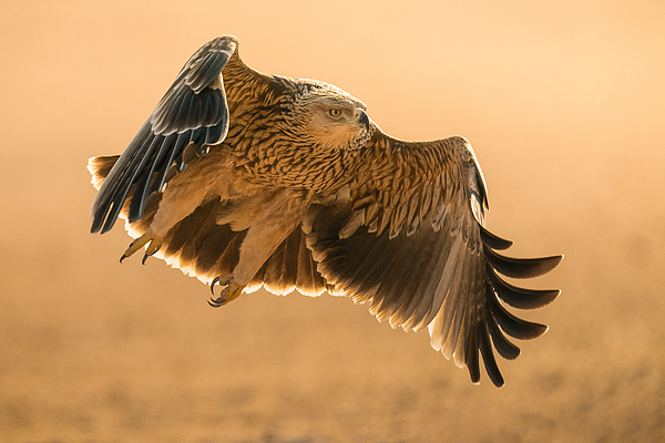 Eastern Imperial Eagle Photograph by Ahmed Sobhi