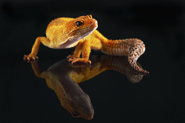 Gecko Reflection Photograph by Pierre Artemoff