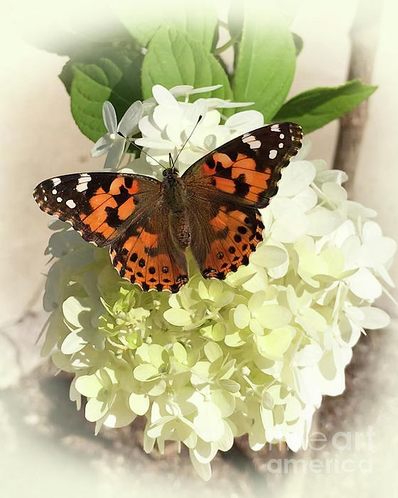Painted Lady Butterfly Photograph - Hydrangea With Painted Lady Butterfly 2019 by Karen Adams
