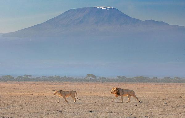 Lions & Kilimanjalo Photograph by Dinglu (xh) Yang