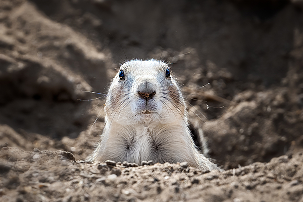 Prairie Dog Photograph by Siyu And Wei Photography