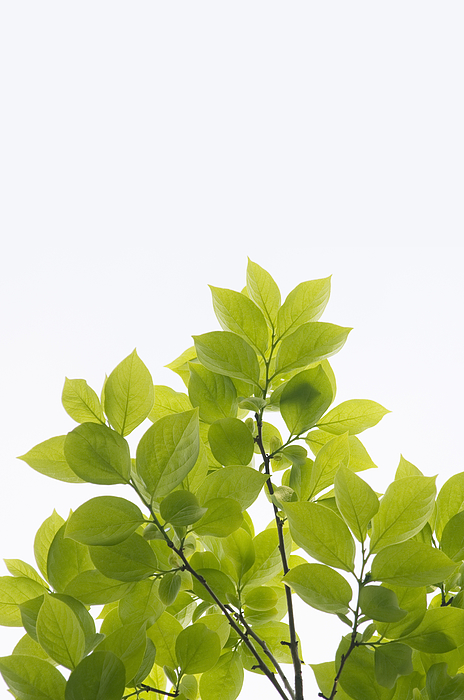 Young leaves of persimmon tree Photograph by Wataru Yanagida
