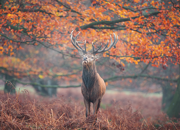 A large stag in an autumn forest. Photograph by Alex Saberi