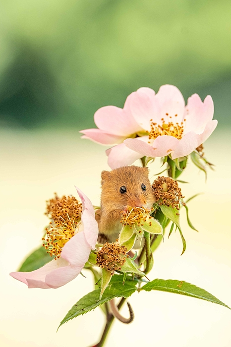 Field Mouse Photograph by Mike Boss Photography