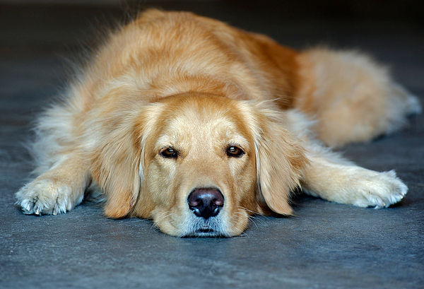Golden retriever lying down Photograph by Zoom Pet Photography