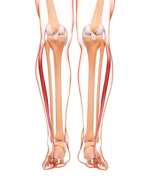Human Leg Musculature, Computer Artwork. Photograph by Shubhangi Ganeshrao Kene