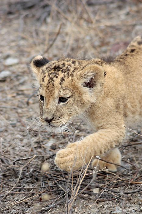 Lion Cub Photograph by Iñaki Respaldiza