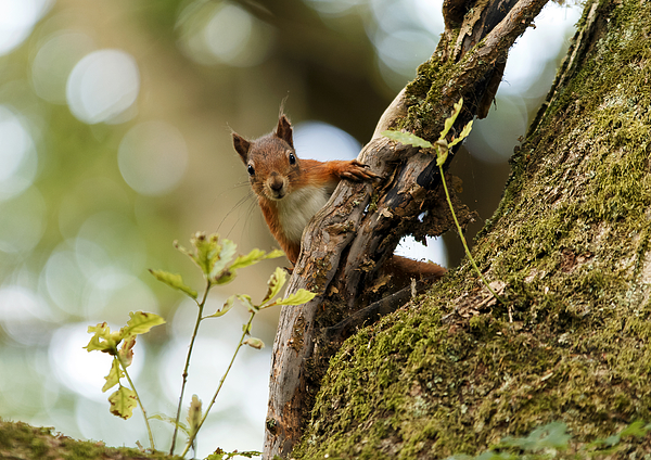 Red Squirrel Photograph by Fazer44