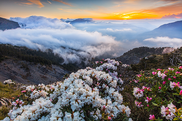 Rhododendron, Yushan Rhododendron (Alpine Rose) Blooming by the Trails of Taroko National Park, Taiwan Photograph by Higrace Photo