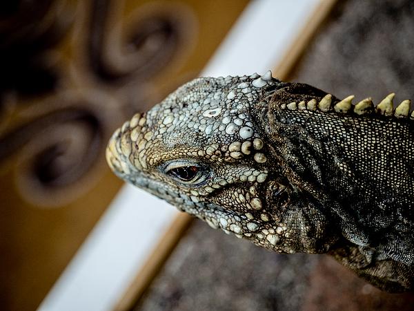 Serie di foto in ambiente controllato di diverse famiglie e tipi di Camaleoni, Iguana e rettili squamati Photograph by Roberto Bordieri Photographer