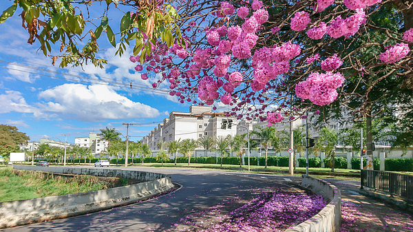 The beauty and glamor of the pink Ipê (Handroanthus) coloring and beautifying the city. Photograph by CRMacedonio