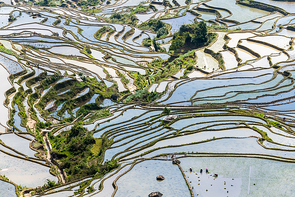 The Farmer Planted Rice Seedlings In The Terrace Photograph by Zhouyousifang