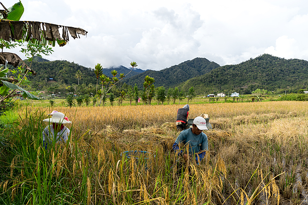 View of farmers at paddy field during harvest season in Bario, Sarawak - a well known place as one of the major organic rice supplier in Malaysia. Photograph by Shaifulzamri