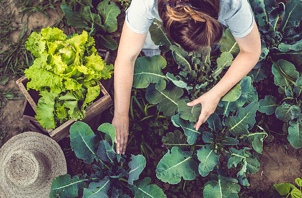 Young Woman Harvesting Home Grown Lettuce Photograph by Sanjeri