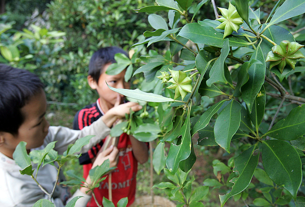 Chinese Fruit Star Anise Becomes Secret Weapon Against Bird Flu Photograph by China Photos
