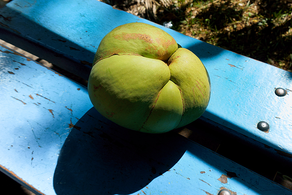 Dillenia indica, commonly known as elephant apple Photograph by CRMacedonio