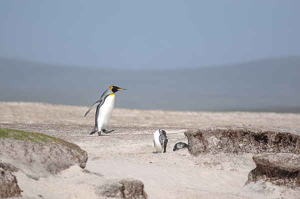 King Penguin, Volunteer Point, East Falkland, Falkland Islands. Photograph by Paul Grace Photography Somersham