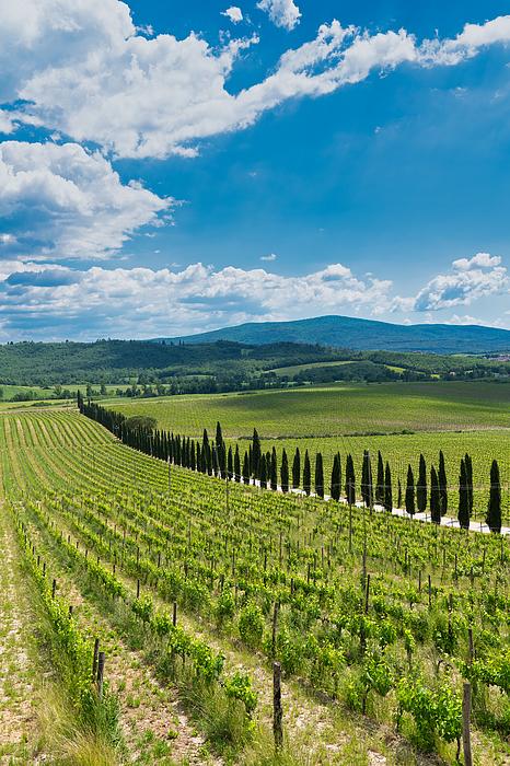 Vineyard, Tuscany, Italy Photograph by Mauro Tandoi
