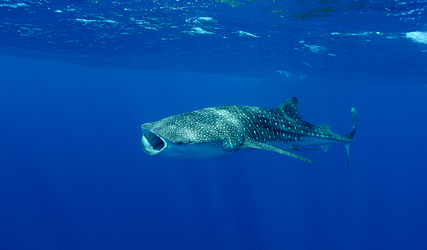 Whale Sharks off Ningaloo Reef, Western Australia Photograph by James D. Morgan
